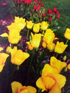 "Darwin tulips, ""Golden Parade,""  glorious yellow which will light up your bed in late spring."