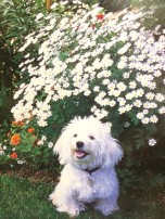 Tanacetum (and an adorable Havanese puppy)