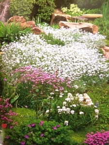 Candytuft blossoming in spring.