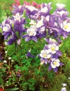 Bright purple colombine.