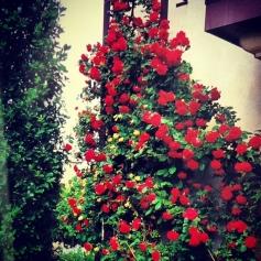 Climbing Rose - Red Blaze