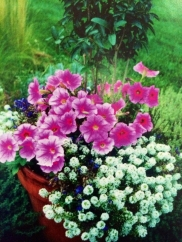 Healthy alyssum and petunias.