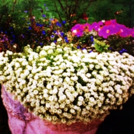 Alyssum in a container, spill over in a pretty cascade.