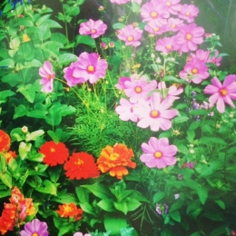 Cosmos bipinnatus and zinnias fill in gaps between perennials.
