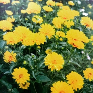 """Heliopsis helianthoides"""