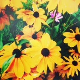 Gloriosa daisy (rudbeckia hirta).