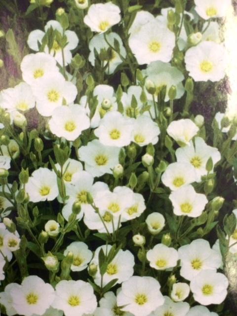Perennials a picturesque portrait for Best low growing flowering perennials