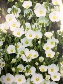 Sandwort, Early Summer, Low Growing